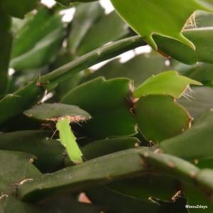 nouvelles feuilles cactus de noel