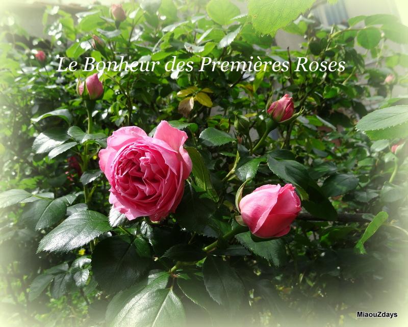 bonheur des premieres roses