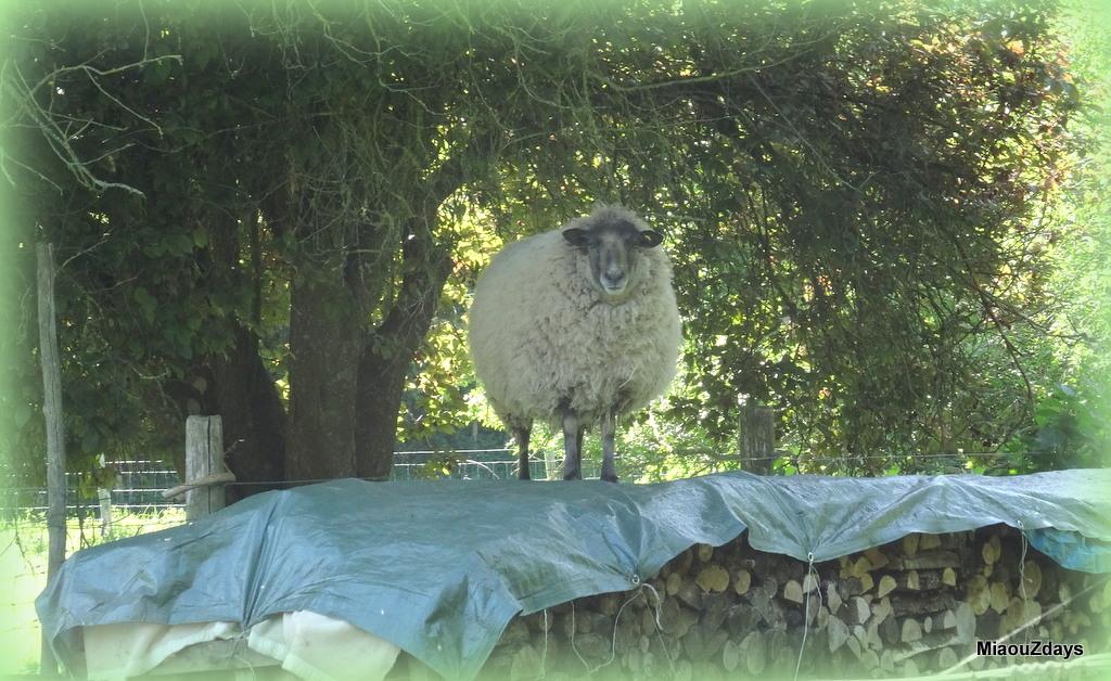 moutons grimpé