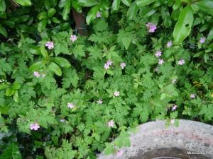 geraniums sauvages