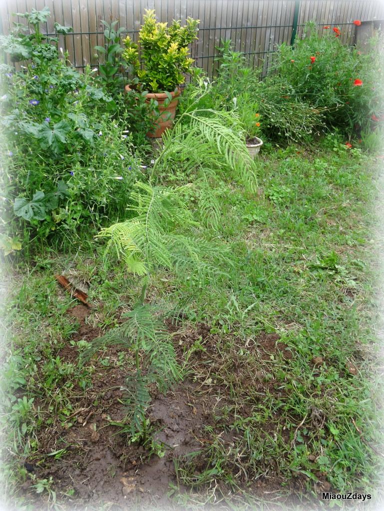 mimosa 4 juin 16