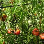 tomates en fin juillet