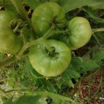 tomates au 20 juillet 2016