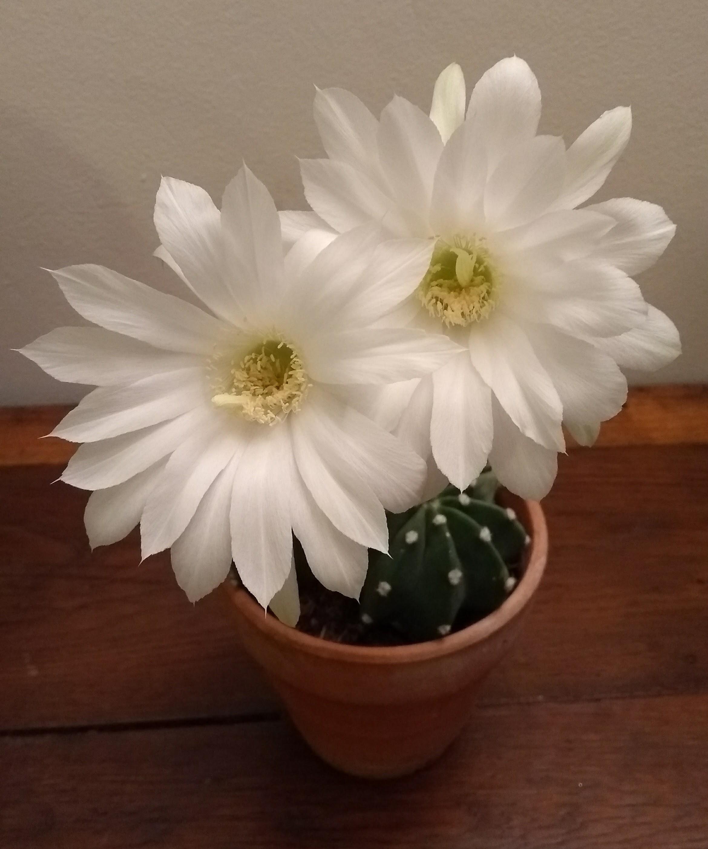 Fleurs blanches : émerveillement d'une nuit.   MiaouZdays